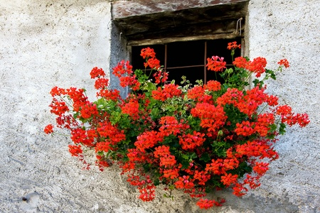 still life: Red Geranium in a wall basket below window of house in Cogne Italy Stock Photo