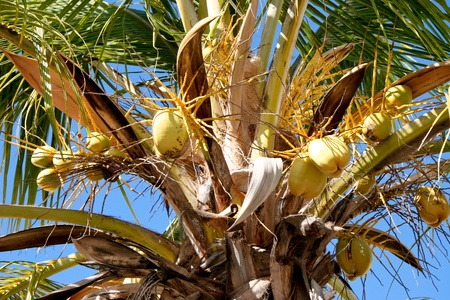 Close-up of a Coconut Palm tree (cocos nucifera) with green coconuts from Gran Canaria photo