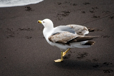 webbed legs: Common Gull (larus canus) juvenile on a beach in Funchal Madeira Portugal Stock Photo