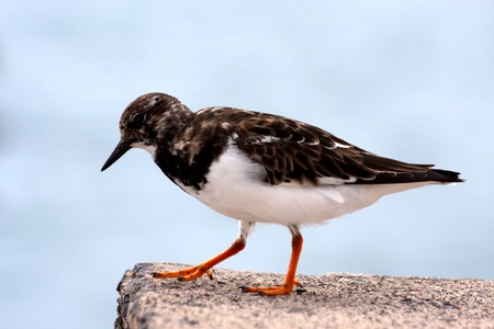 seabird: Ruddy Turnstone (Arenaria interpres) seabird perched on a wall in Funchal Madeira Stock Photo