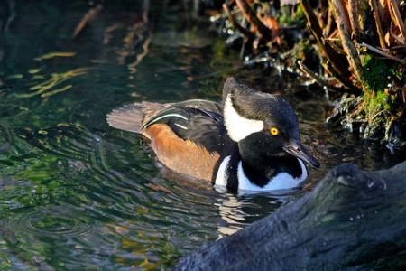 Hooded Merganser Stock Photo - 8401152
