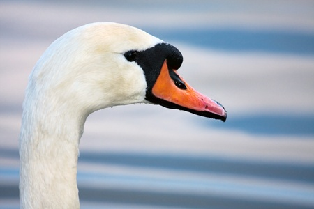 Mute Swan (cygnus olor) at Warnham Nature Reserve near Horsham West Sussex Stock Photo - 8401343