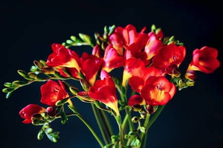 iridaceae: Close-up of red and yellow freesias (Iridaceae) Stock Photo