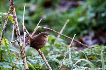 Wren (troglodytes troglodytes) perched on a dead stalk at Weir Wood Reservoir Stock Photo - 8401256