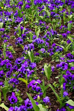 grinstead: Blue pansies and tulips on display in East Grinstead