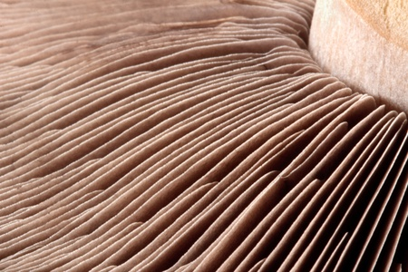 Close-up macro shot of a mushroom stalk and fins Stock Photo - 8401070