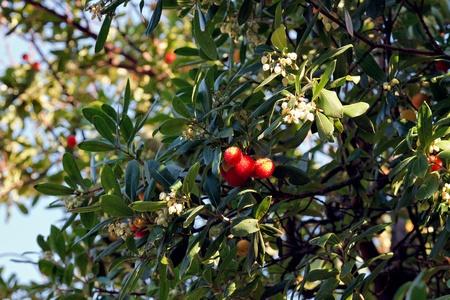 fruiting: Fruiting Strawberry tree in a garden in Mandello del Lario Italy