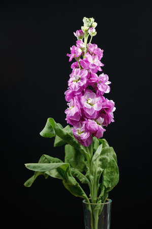 Single magenta Verbascum flower photo