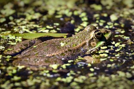 ridibundus: Close-up shot of a Marsh Frog (pelophylax ridibundus) Stock Photo