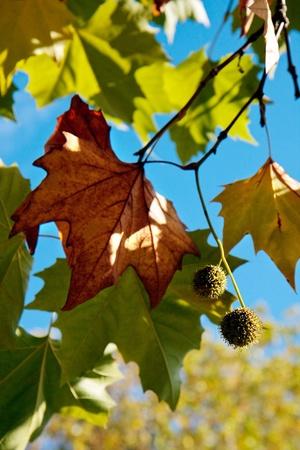 London Plane tree leaves in East Grinstead photo