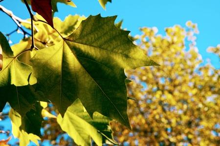 grinstead: London Plane tree leaves in East Grinstead