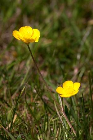 Creeping Buttercups (ranunculus repens) in a field in Godstone Surrey photo