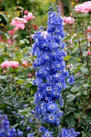 Beautiful blue Delphiniums on display at Butchart Gardens