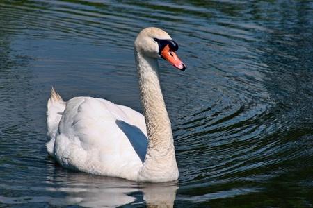 Mute Swan (cygnus olor) at Barcombe Mills Stock Photo - 8474663