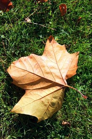 hispanica: Single London Plane tree (platanus × hispanica) leaf