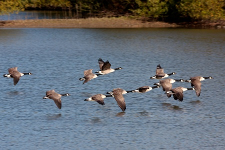 Canada Geese flying over Weir Wood Reservoir Stock Photo - 8474632