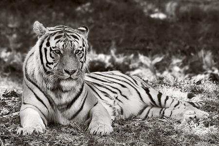 repose: Tiger in repose