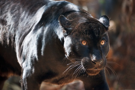 black jaguar: Jaguar