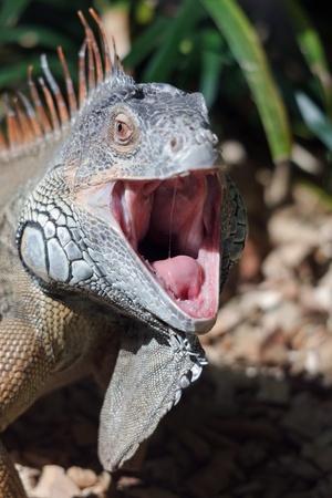 basking: Iguana