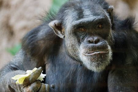 Chimpanzee sitting in a zoo photo