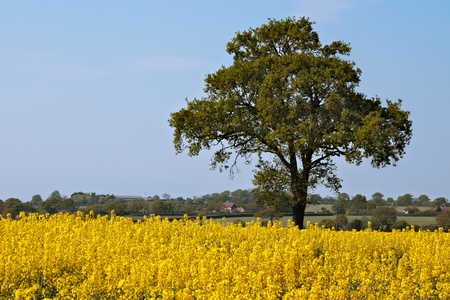 rapeoil: Rape in the Essex countryside Stock Photo