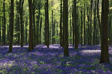 Bluebells in Wepham Woods photo