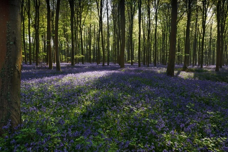 Bluebells in Wepham Woods Stock Photo - 9396413