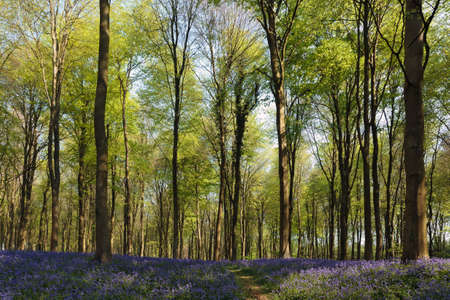 Bluebells in Wepham Woods Stock Photo - 9396434