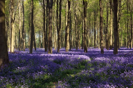 Bluebells in Wepham Woods Stock Photo - 9396433