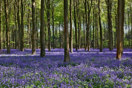 beautiful woodland: Bluebells in Wepham Woods