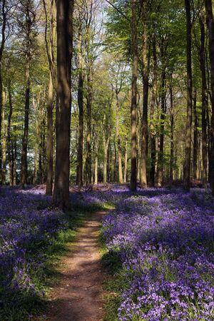 fiori di campo: Bluebells nel bosco di Wepham Archivio Fotografico