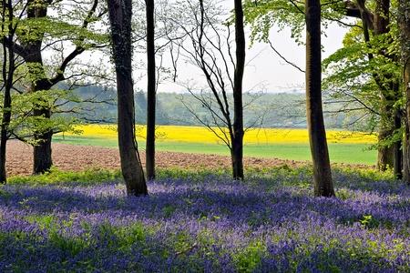 Bluebells in Wepham Woods