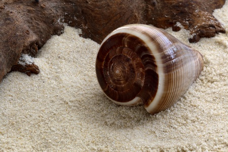 cone shell: Cone shaped shell