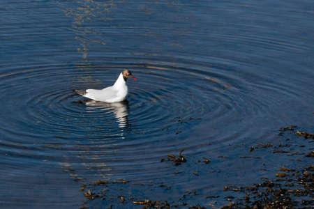 ridibundus: Black-headed Gull (larus ridibundus) Stock Photo