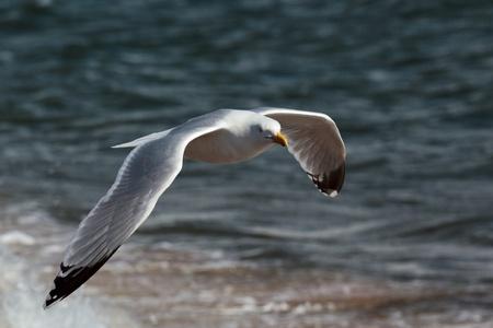 larus: Common Gull (larus canus) Stock Photo