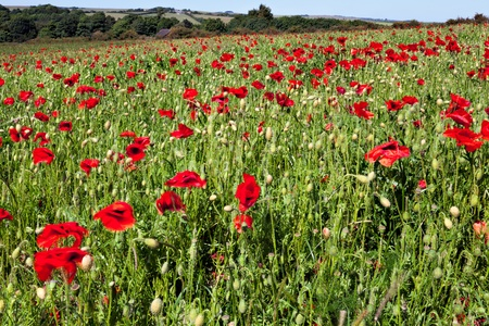 Field of Poppies in Sussex photo