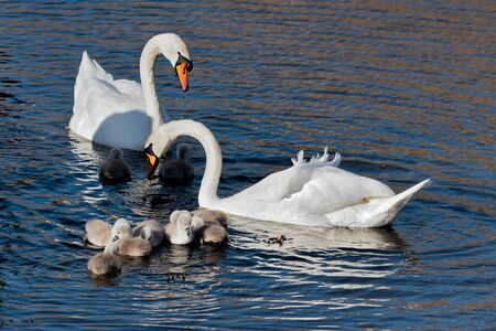 Mute Swans (cygnus olor) with cygnets photo