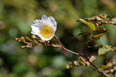 White Dog Rose (rosa canina) Stock Photo - 9733053