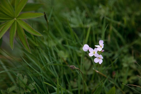 Cuckoo flower (cardamine pretensis) photo