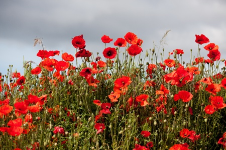 sussex: Field of Poppies in Sussex