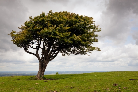 Wind blown tree on the South Downs Stock Photo