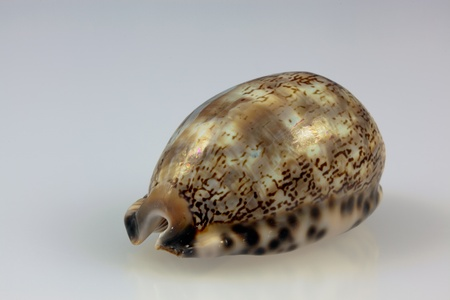 arabica: Arabica Cowrie seashell