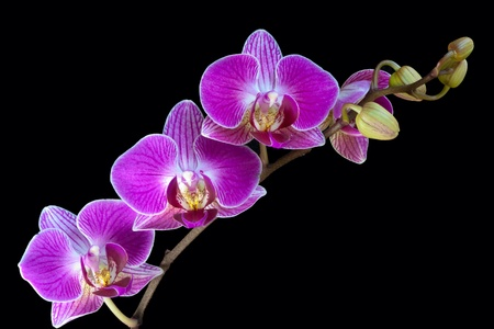 A spray of Orchid flowers Stock Photo