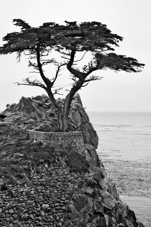 Monterey Cypress tree on the Carmel coast 免版税图像