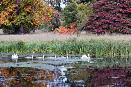 Family of swans on the move photo