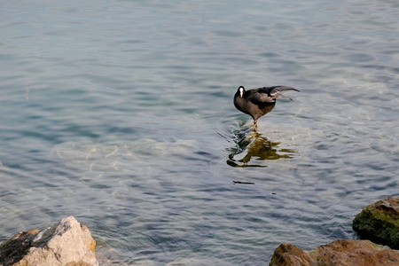 Coot standing on a submerged rock photo