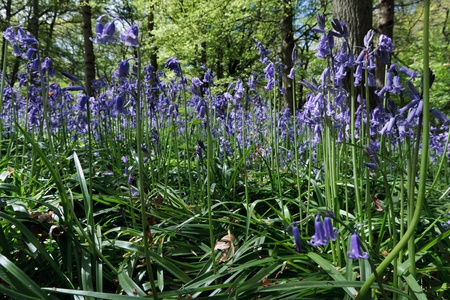 Close_up of Bluebells in Staffhurst Woods photo