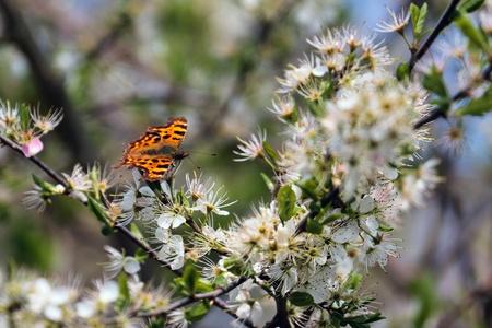 Comma butterfly (Polygonia c-album) feeding on tree blossom Stock Photo - 11074358