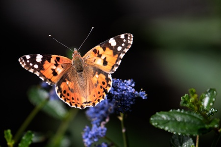 british weather: Close-up of a Painted Lady (Vanessa cardui) butterfly Stock Photo