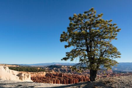 Pine tree on the edge of Bryce Canyon photo